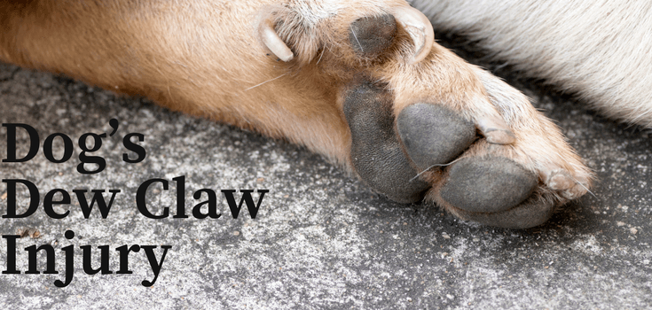 Dog foot with dew claw injury