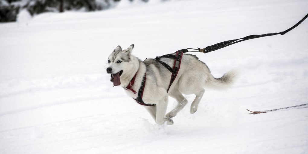 Husky running in the snow with an harness