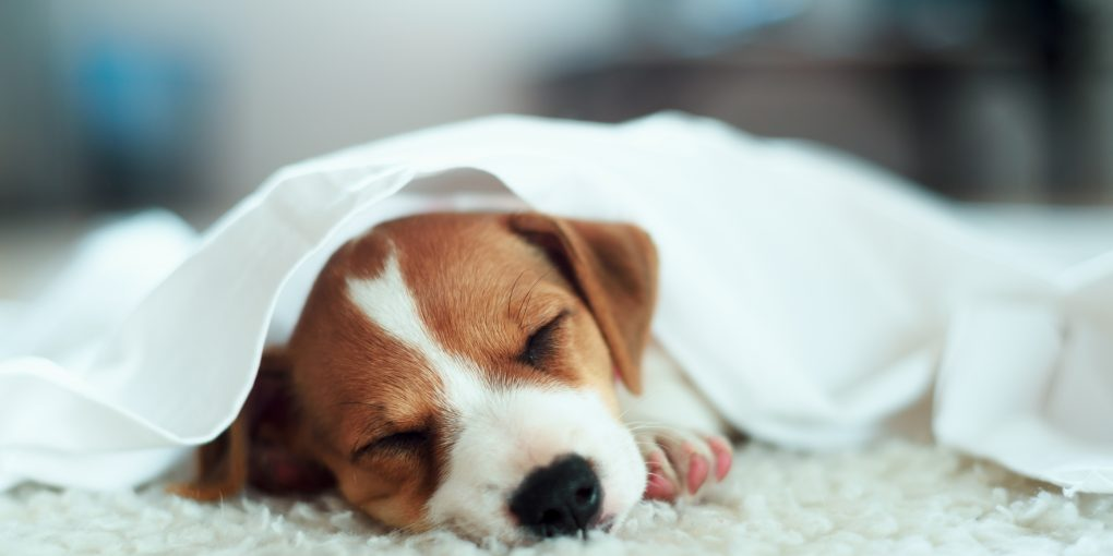 Puppy sleeping in the carpet