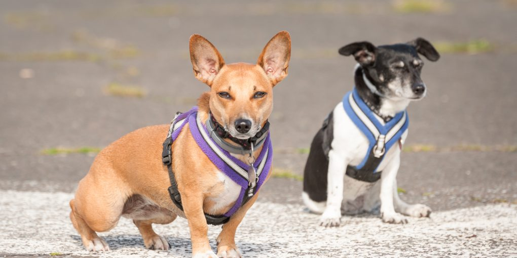 Small Terrier dogs with the best harness