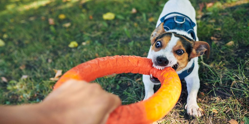 prevent bites and trying to taking away ring toy from cute dog while playing in park